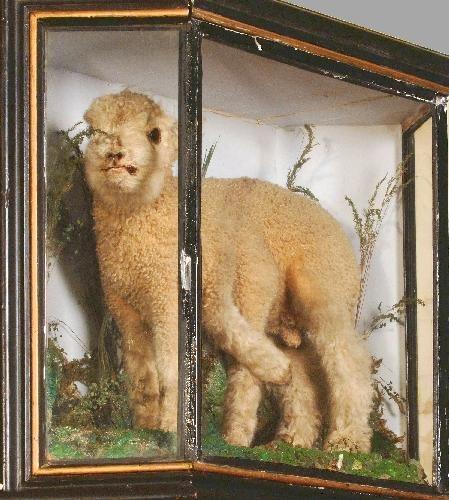 a 6 legged lamb