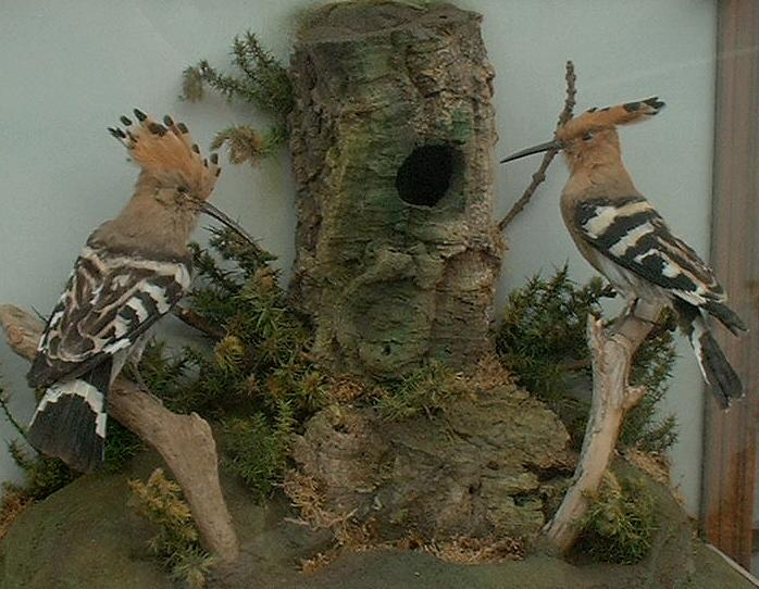 Hoopoes1Full.jpg