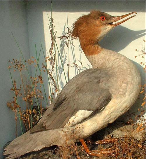 Merganser2Full.jpg