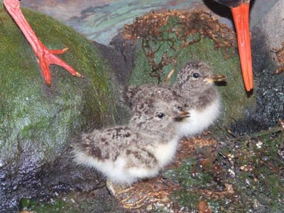 OystercatcherChicks_000.jpg