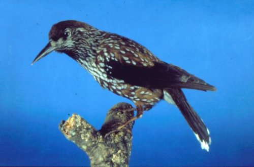 Slender-billed-Nutcracker.jpg