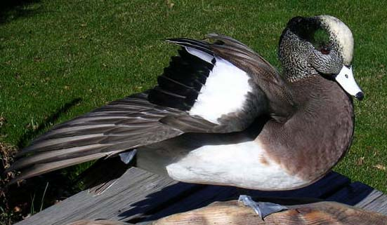 Widgeon.jpg