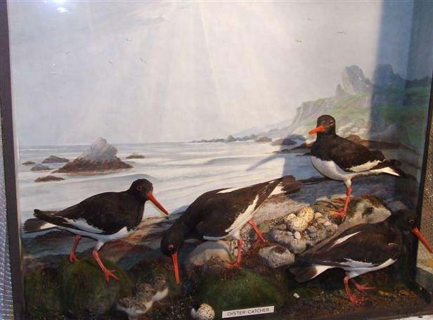 asoystercatcher.jpg