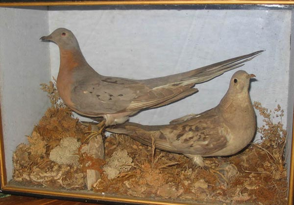Taxidermy of Passenger Pigeons
