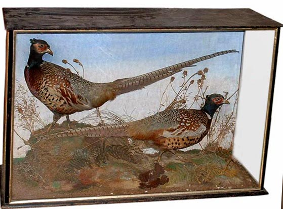 billcoxpheasants.jpg