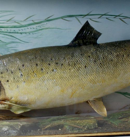 billcoxsalmon4.jpg