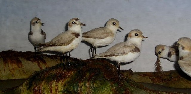boothentishplovers.JPG