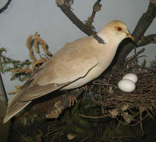 collardgunndoves1.jpg