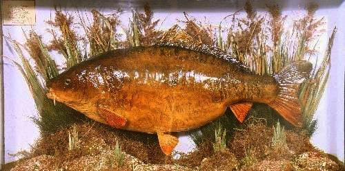 commoncarp.jpg