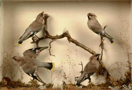 fourwaxwings.jpg