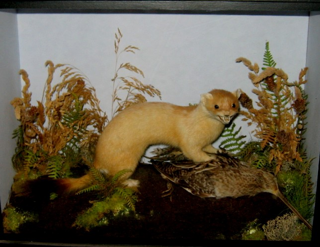 gunnstoat..jpg