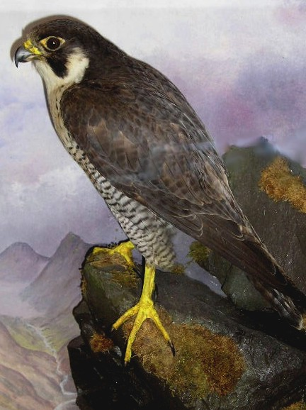 Peregrine Falcon,female