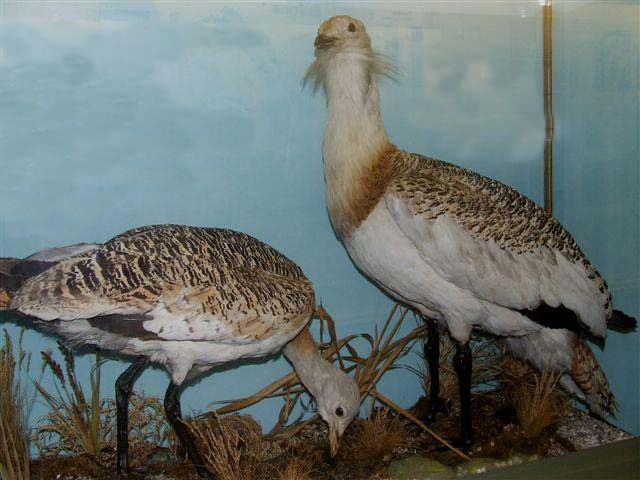 murraybustards.jpg
