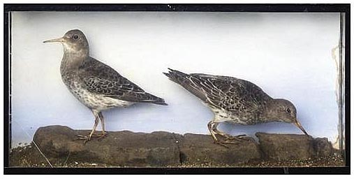 purplesandpipers1.jpg