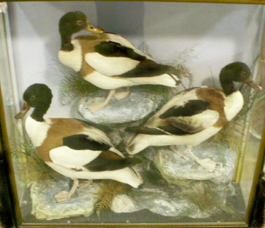 threeshelducks.jpg