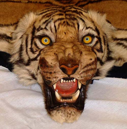 Real Tiger Head
