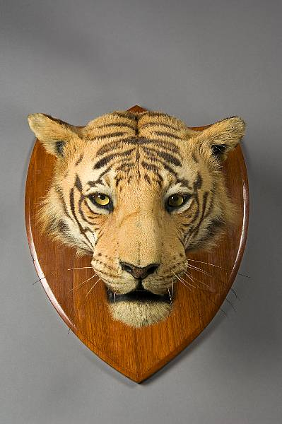 images of tiger heads