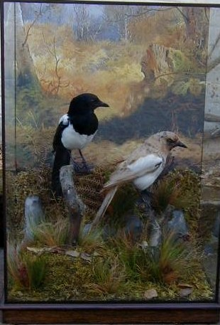 williamsmagpies.jpg